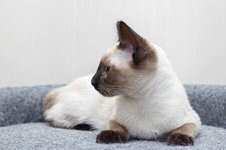 A Thai kitten slumbers on the sofa at home.