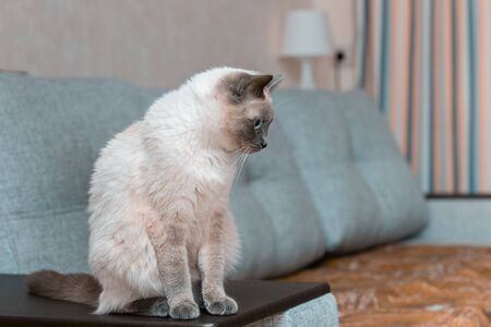 Portrait of a beautiful Thai cat in the interior of the apartment