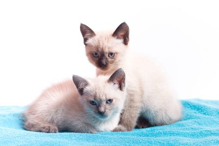 A family of adorable funny little kittens on a white background. Sleepy well-fed kittens are gentle with each other.