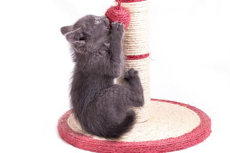 A funny little gray kitten plays with a ball tied to a claw in the form of a column. Stock Photo