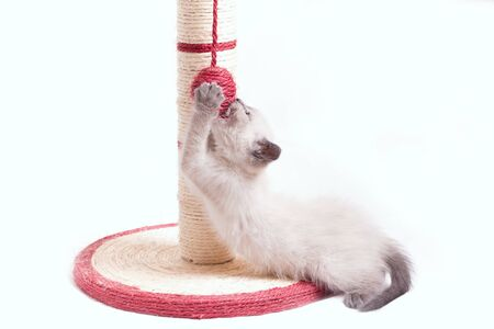 A funny little thai kitten plays with a ball tied to a claw in the form of a column. Banco de Imagens