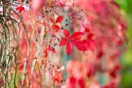 Natural natural background of red autumn grape leaves. Close-up, selective focus, small depth of field