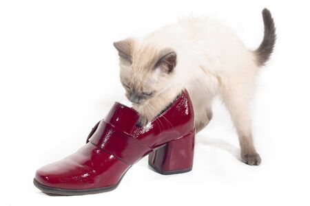 Curious Thai kitten plays with a red lacquered shoe. White background, selective focus Banco de Imagens
