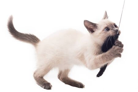 A funny little white Thai kitten plays with a toy on a rope. Close-up, light background, selective focus