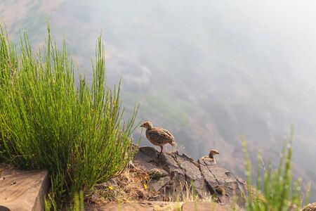The rock partridge Alectoris graeca birds a bird of a pheasant family with chicks on a hiking trail in the mountains of Madeira.