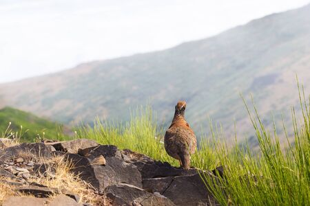 The rock partridge Alectoris graeca birds a bird on a hiking trail in the mountains of Madeira