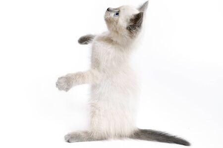 The funny white Thai kitten stands on its hind legs and looks up.