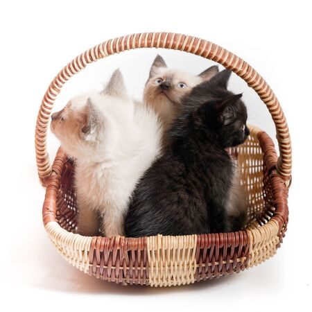 Three little kittens in a wicker basket on a white background. Two Thai white kittens and one black look in different directions