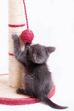 A funny little gray kitten plays with a ball tied to a claw in the form of a column.