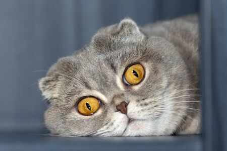 The Scottish Fold cat put his head on the floor and is sad.