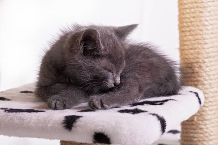 The gray kitten sleeps soundly, closing its eyes