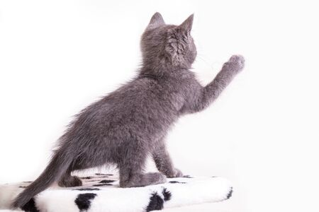 The gray kitten plays, raised the front foot.