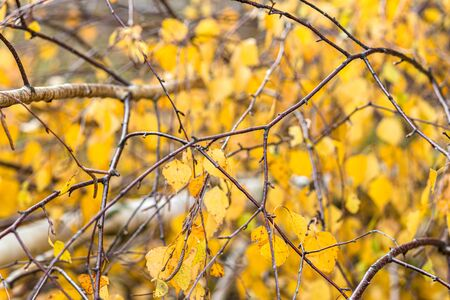 Branches of birch with yellow autumn leaves in the forest. Close-up, daylight, selective focus