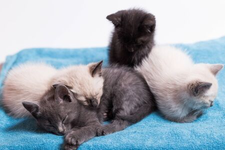 A family of adorable funny little kittens on a white background. Sleepy well-fed kittens are gentle with each other and lazily play.
