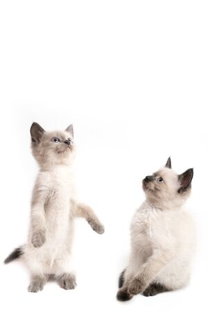 Two little Thai kittens look at something in surprise. Funny scene with a kitten standing on its hind legs. White background, free space from above
