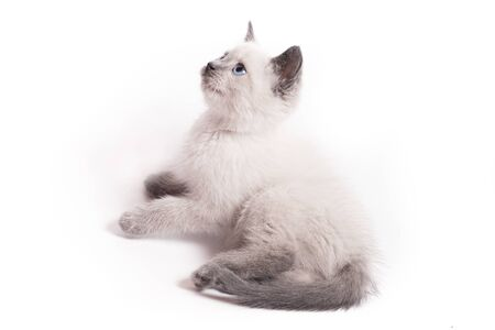A small white Thai kitten lies and curiously looks up 写真素材