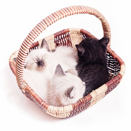 Three little kittens in a wicker basket on a white background. Two Thai white kittens and one black sound sleep
