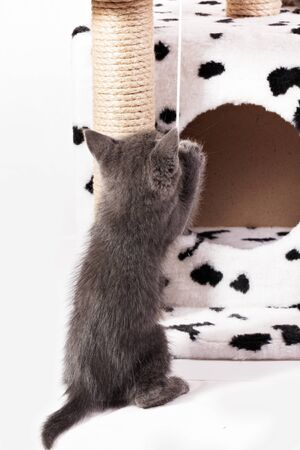 A funny gray kitten plays with a fur ball on a rope. Kitten in cat house trying to catch a toy
