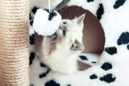 A funny white Thai kitten plays with a fur ball on a rope. Kitten in cat house trying to catch a toy Banco de Imagens