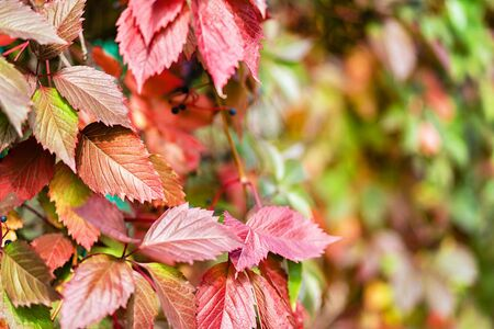 Natural natural background of red autumn grape leaves.