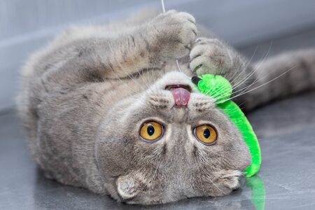 The gray cat lies on his back sticking out his tongue and plays with the toy.