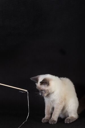 The kitten plays with a rope on a wooden stick. 写真素材