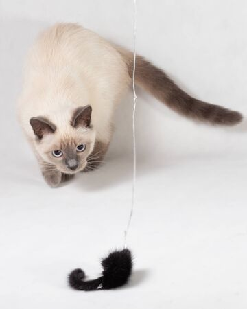 A Thai kitten plays with a black fur mouse on a rope. 写真素材