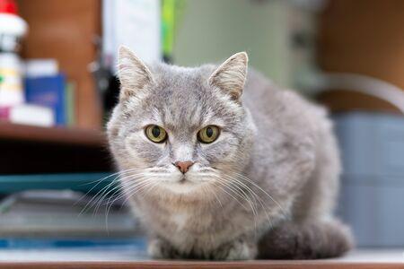 A grey breedless cat lies on the desk.