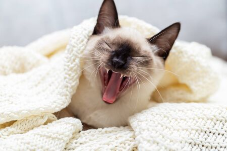 The cat lies under the blanket on the sofa and yawns sweetly, opening its mouth wide 写真素材