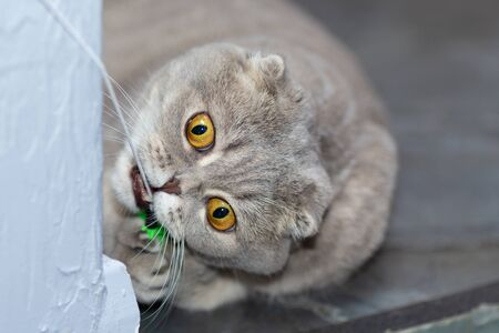 A grey cat plays with a toy on a rope around the corner. Scottish fold-his-cat peeked out of the corner and grabbed the toy with its teeth