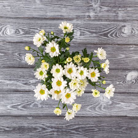 White bush chrysanthemums on a gray wooden table. Bouquet of flowers, view from above
