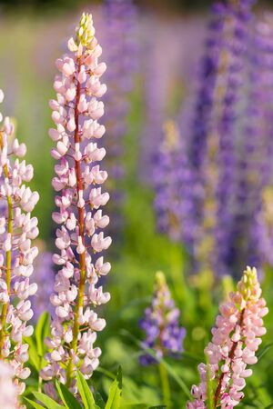 Flowers of pink and purple lupin on the field in natural sunlight. Close-up, selective focus 写真素材