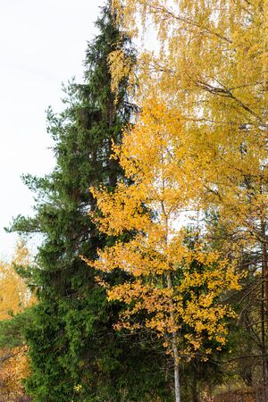 Yellow birch and green spruce in the autumn forest. Daylight, good weather on an autumn day 写真素材