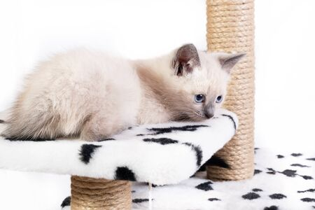 A little tired sad Thai kitten relaxes on the game complex for cats. Close-up, white background