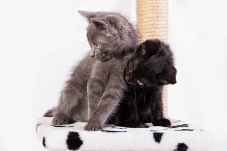 Two little funny kittens, gray and black, sit on the game complex. Kittens clung to each other. Close-up, selective focus, white background 写真素材