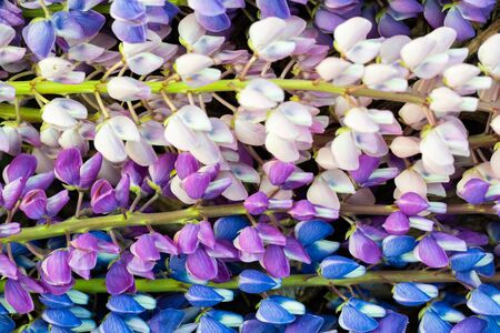 Natural natural background of flowers of white, purple and blue lupin. Close-up, natural daylight.