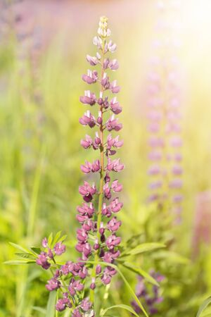 Flowers of pink lupin on the field in natural sunlight. Close-up, selective focus