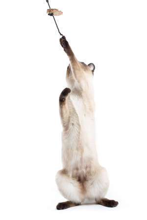 Thai cat sits on its hind legs and reaches for a toy. Isolated on a white background.