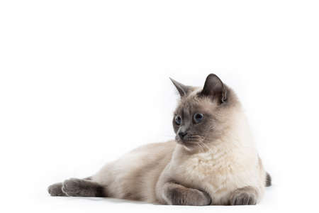 A calm Thai cat lies on its stomach and looks to the side. Isolated on a white background, free space on the left 写真素材
