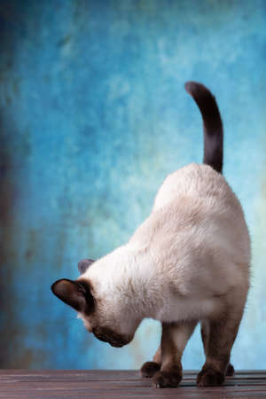 Thai cat on a blue background in the style of grunge. The cat stands on the board, leans over and looks back. Free seat on the left upstairs for your text