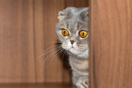 The Scottish Fold grey cat cautiously comes out of the corner. Wary look of yellow eyes and timidly svy paw 写真素材