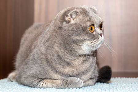 Sad gray cat lies, touching his feet. Scottish Fold cat close-up on blurred background