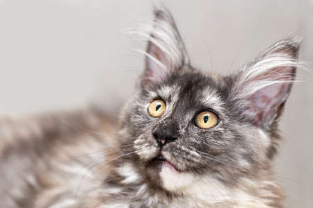 Portrait of a Maine coon cat with a surprised look. Turtle color, close-up, selective focus