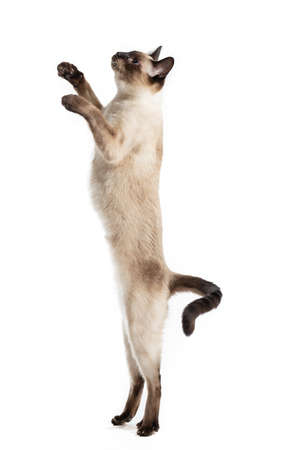 Thai cat ridiculously stands on its hind legs and looks up. Isolated against a white background, a large pal 写真素材