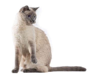 The cat sits on its hind legs and lifts its front paws. Cat of Thai breed, isolated on a white background, free space on top 写真素材