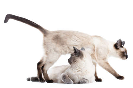 Two funny Cats of Thai breed on a white background. One cat is lying, the other is stepping over it 写真素材