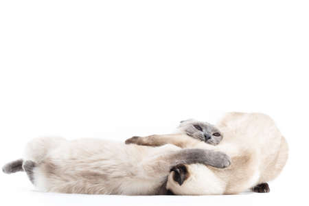 Two Cats of Thai breed play depict fight and fight. Close-up, isolated on a white background 写真素材