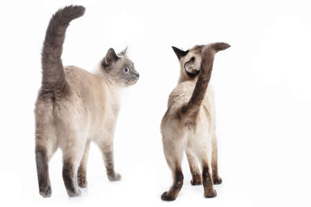 Two cats of The Thai breed stand back to the viewer. Isolated on a white background