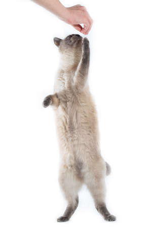 A Thai cat stands on its hind legs and takes the delicacy of hands. Isolated on a white background