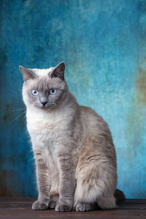 Portrait of a white cat on a blue background in the style of grunge. Cat of Thai breed, close-up